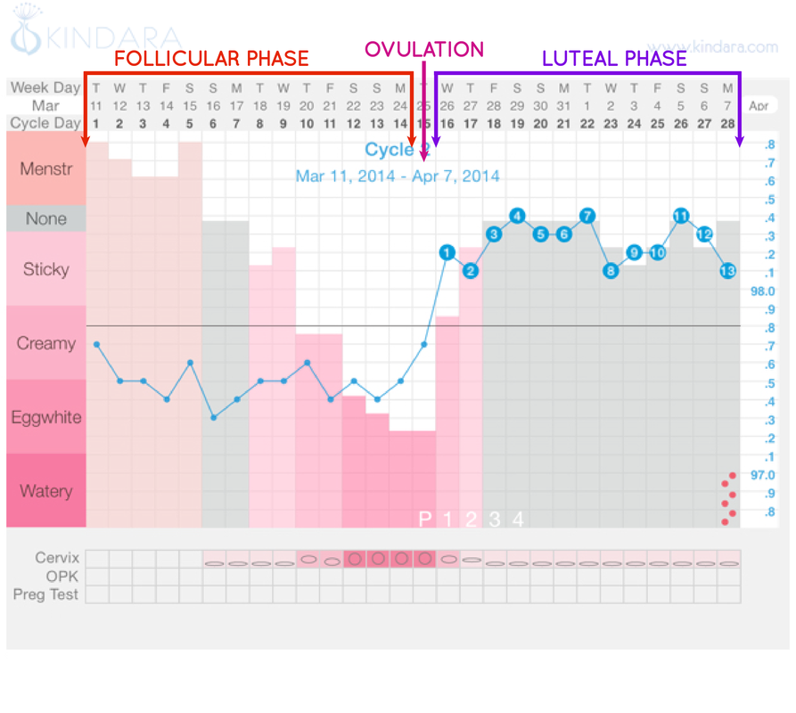a menstruációs ciklus 2 szakasza, kép forrása: kindara.com